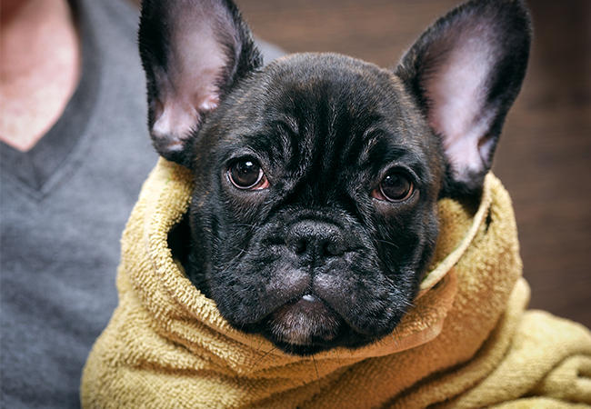 hund der bliver tørret og holdt varm med et håndklæde