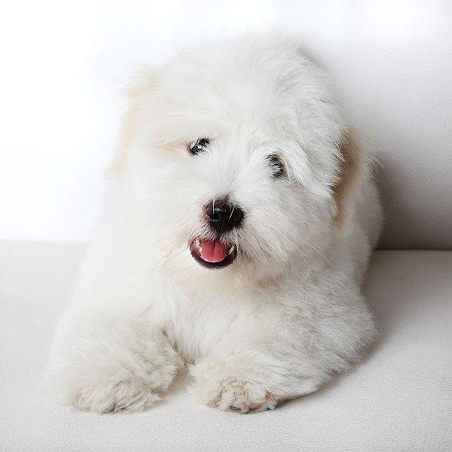 Racehunden Coton de Tulear eller bomuldshund.