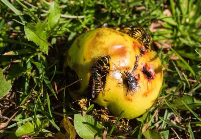 Sådan sikrer du dig en hvepsefri sommer