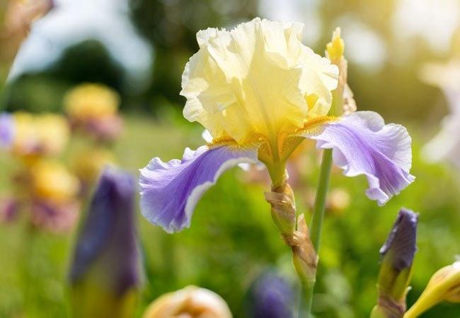 Iris – farverig og fantastisk sæsonblomst