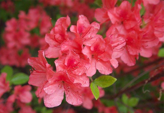 Japanazalea / Japansk rhododendron (Rododendron japonicum) i krukker og potter