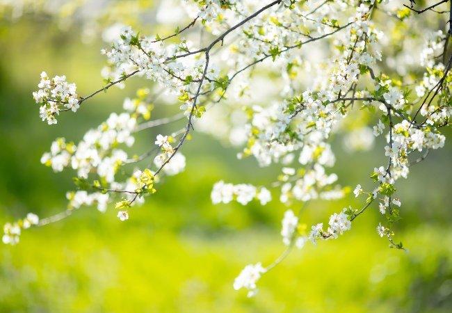 Kirsebærtræet i blomst