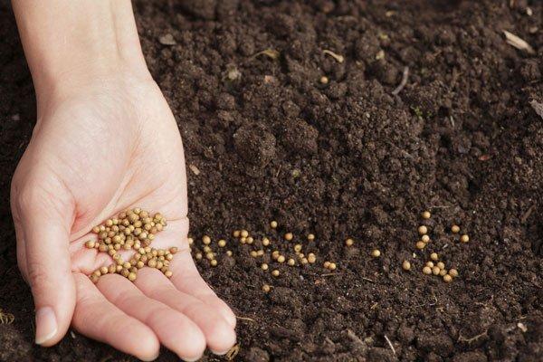 koriander-frø-planting