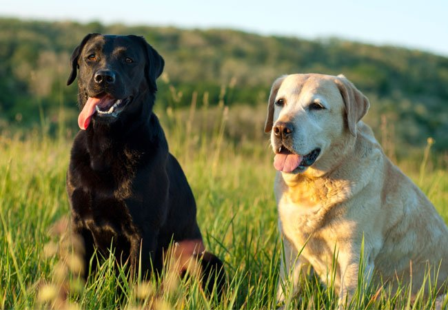 En sortbrun og en gylden labrador.