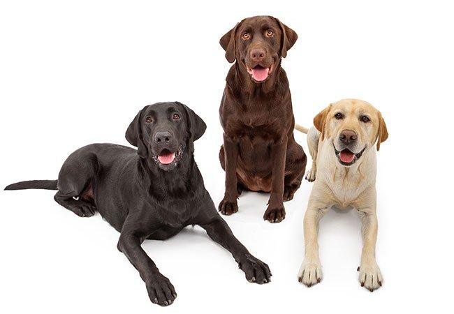 Labrador: Tre kulører: Sort, brun og gylden.