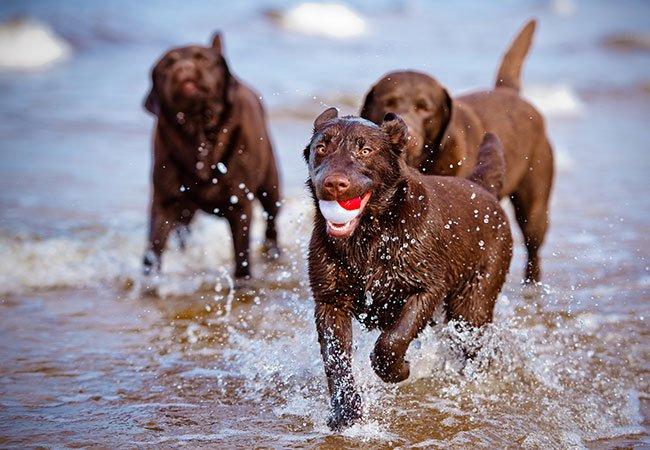 Vandhunden: Labrador i vandet