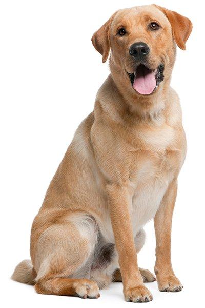 To labradorer: venter de på en ejer?