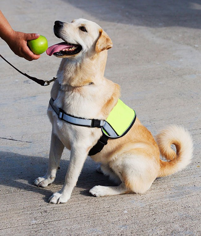 Labrador som førerhund