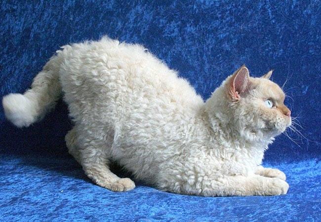 19 katte, der koster en formue