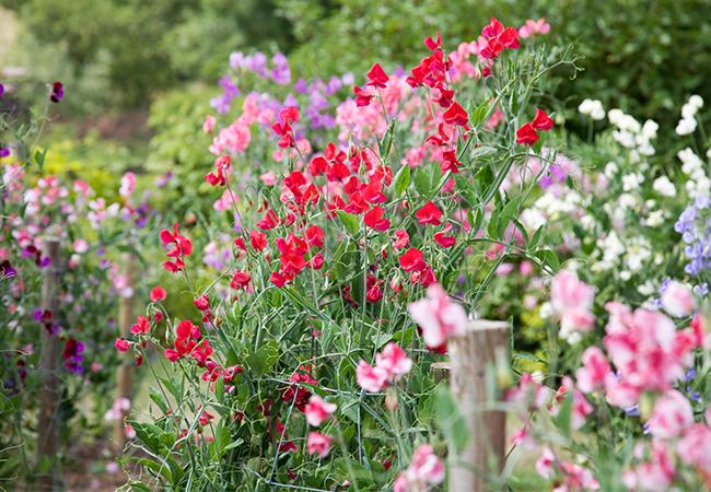 Farverige fladbælg blomster