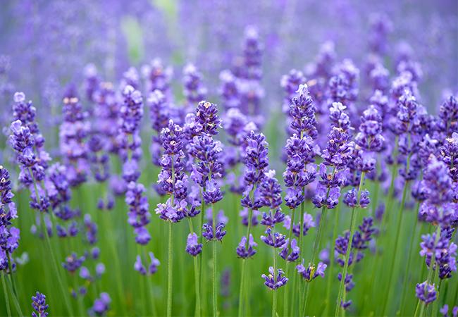 Lilla violet lavendel blomster