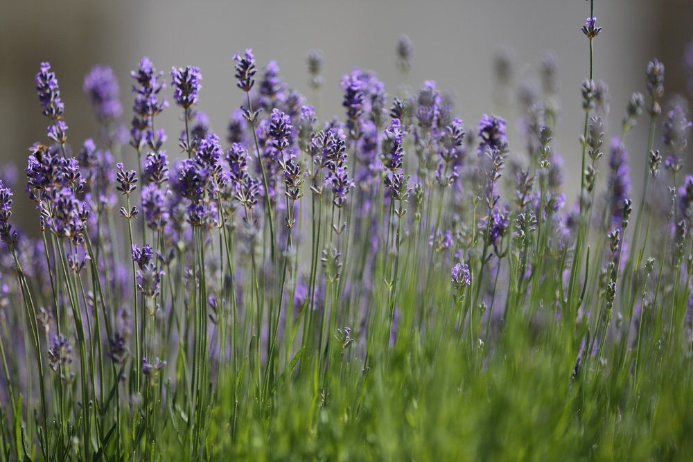 Lavendel (Lavandula angustifolia) i krukker og potter
