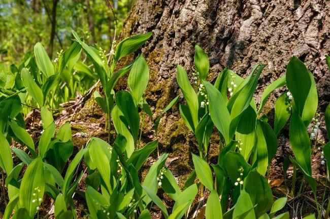Liljekonvallen vokser i danske skove