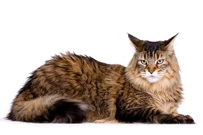 Maine Coon katt i brune nyanser