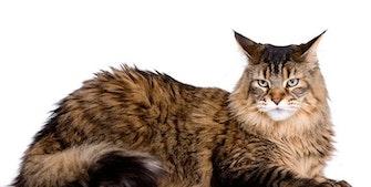Maine Coon katt - verdens største katterase