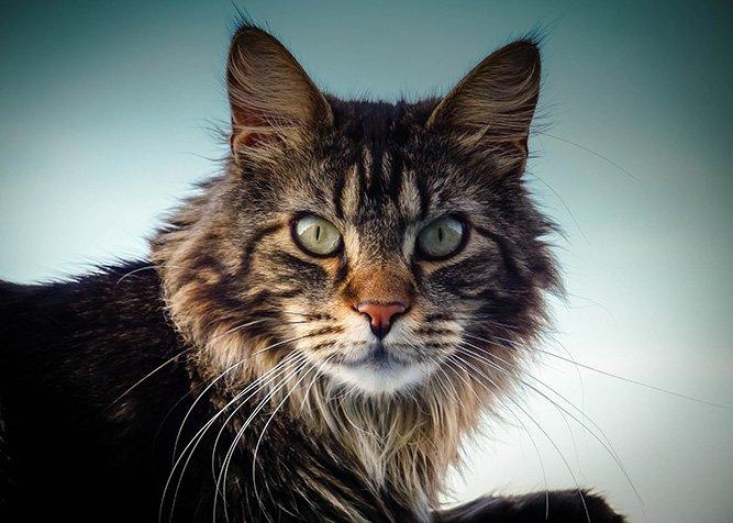 Maine Coon - populære katter