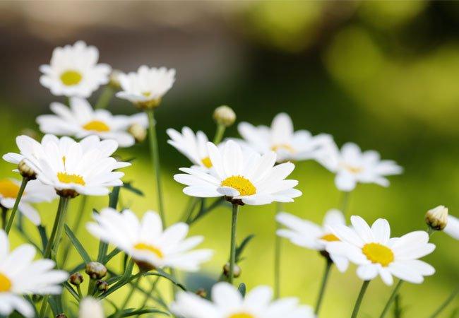 Marguerite / Prestekrage ( Leucanthemum) i krukker og potter