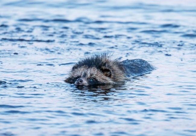 En mårhund, der svømmer.