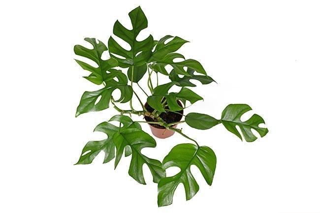 Monstera minima har mindre blader enn den vanlige monstera deliciosa.