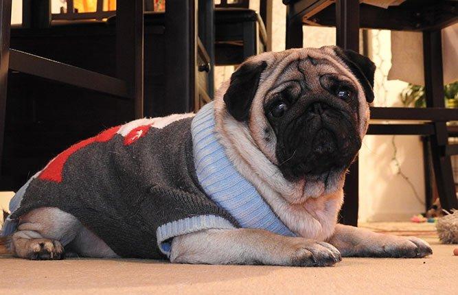 mops - en mops med genser
