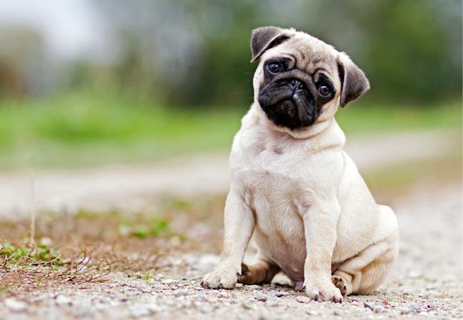Mops – fordele og ulemper ved den kærlige familiehund