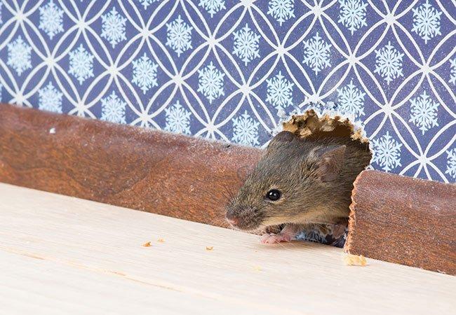 Mus og rotter i boligen.