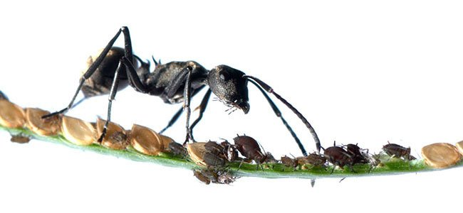En myre beskytter bladlus for at spise honningdug.