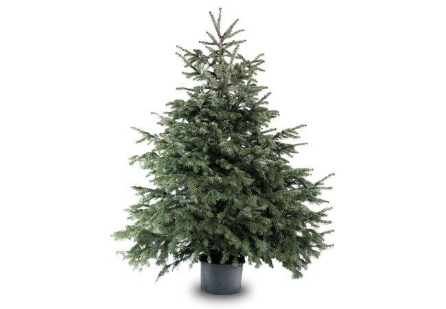 Sølvgran - nobilis, juletræ.