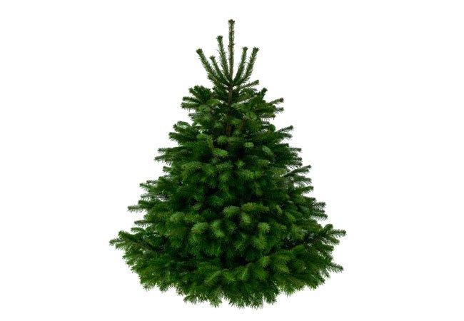 Nordmannsgran - type juletræ.