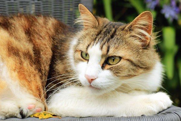 Norsk skogskatt (NFO) - populær katt