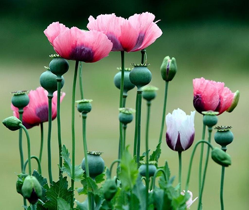 Lyserøde opiumsvalmuer og valmueknopper på mark.
