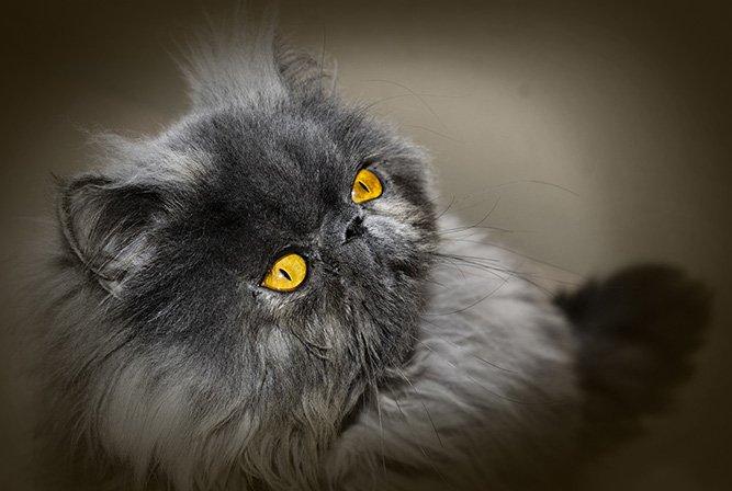 Perser - katteraser som er populære