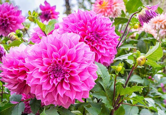 Pink Dahlia - knoldblomster, der blomstrer i sensommeren og efteråret.