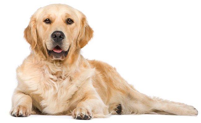 Hund af racen golden retriever.