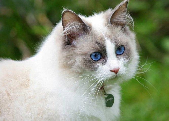 Ragdoll katterase med blå øyne - populær