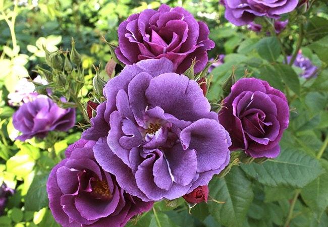Sådan planter og holder du sunde roser i haven