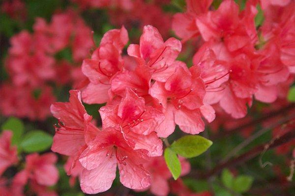 Japansk Azalea beregnet til krukker.