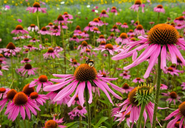 Rød solhat eller purpursolhat, der blomstrer i sensommeren.