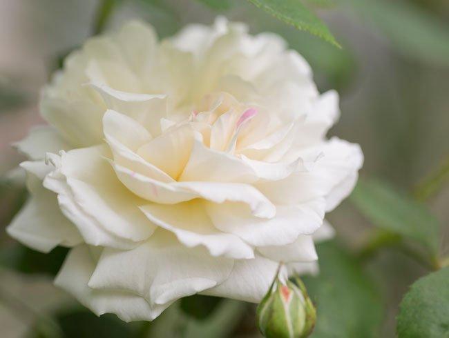 vinter hårdfør hvid rose.