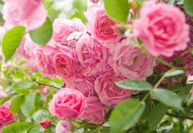 Roser, der blomstrer helt ud på efteråret.