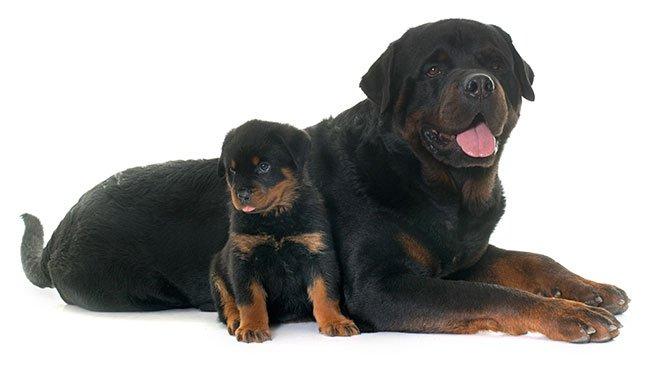 Tæve af hunderacen Rottweiler med sin hvalp.