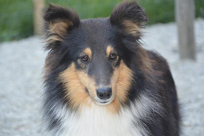Shetland Sheepdog - sort, brun og hvit familievennlig hund