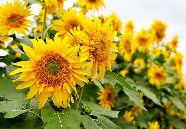 Smukke gule solsikker