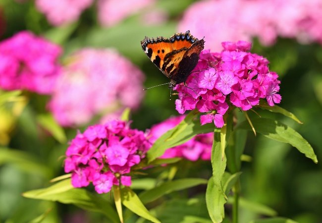 Nellike med sommerfugl