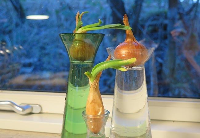 Spiseløg på hyacintglas