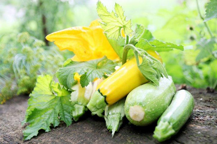 Squash - Zucchini i drivhus