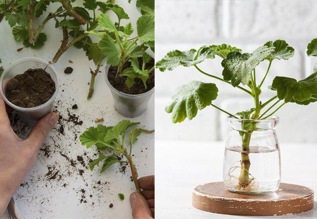 Putt stiklinger av pelargonia i vann eller i en krukke med jord
