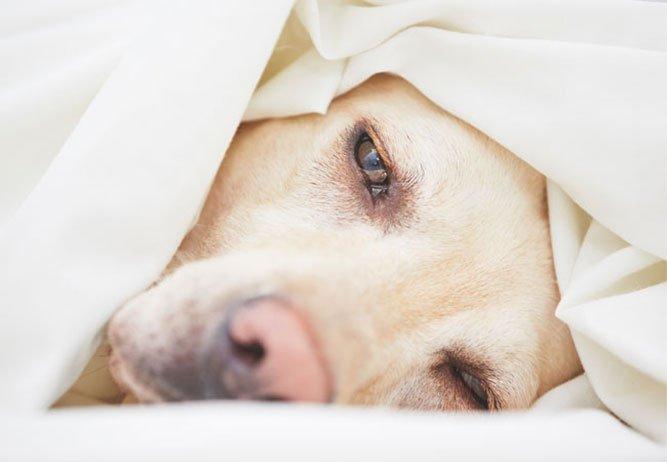 hunder og sykdom