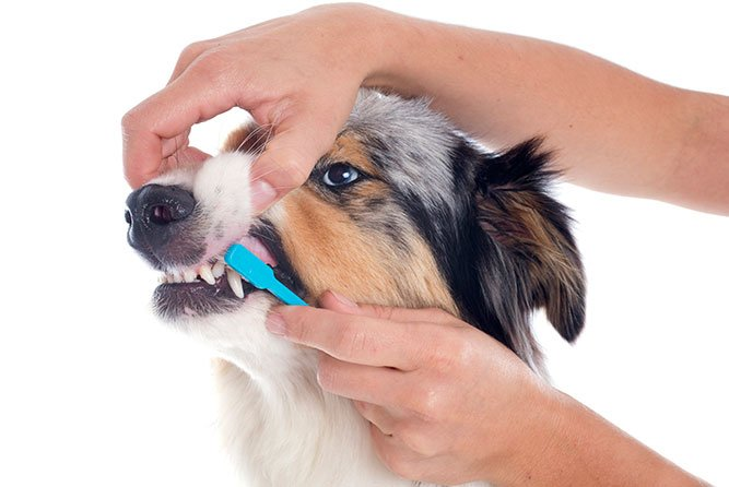 Tannproblemer hos hund