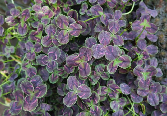 Trifolium Alexia